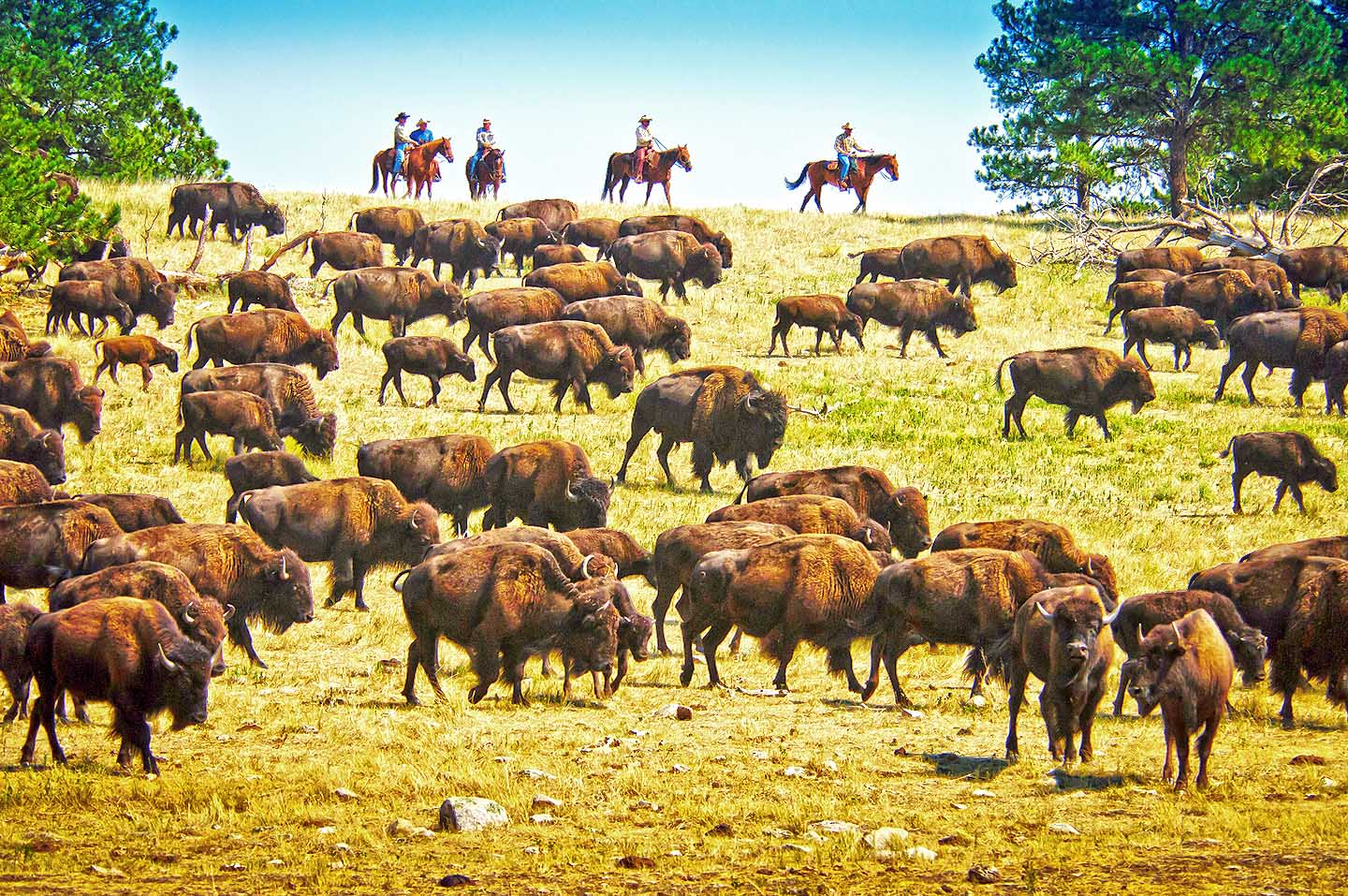 Buffalo Roundup (c) South Dakota Department of Tourism