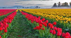 Skagit Valley Tulips (c) Ron Jones