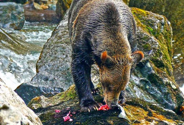 Grizzly (c) Sea Wolf Adventures